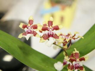 第17回船橋洋らん展 5大属以外の展示から 17th Funabashi Orchid Show