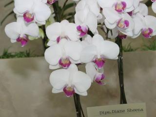 Subaru Johnson City >> 世界らん展日本大賞2007 ファレノプシス 交配種 Japan Grand Prix International Orchid Festival 2007 Phalaenopsis Hybrids